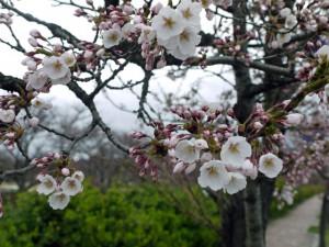 会津若松桜スナップ写真
