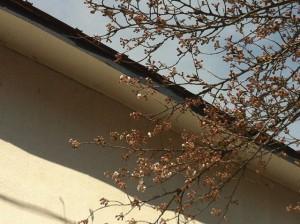 興徳寺の桜が咲き始めました