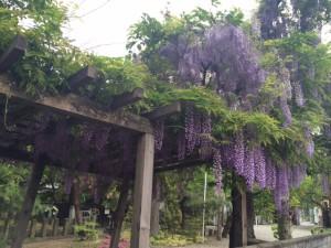 興徳寺の藤の花