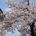 2015興徳寺桜